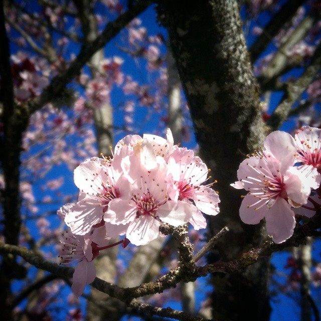 The first cherry blossoms of spring.